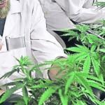 Microsoft le apuesta al negocio de tecnología para la marihuana