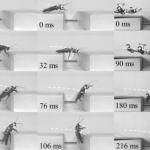 Las cucarachas enseñan a los robots a superar obstáculos